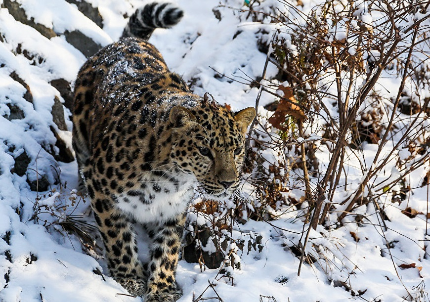 Saving Far Eastern leopard and much more