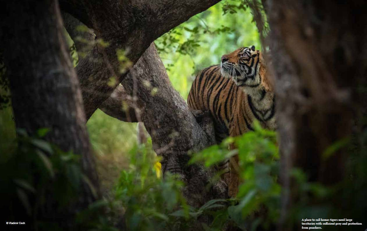 Global Tiger Day-Become Tiger Protector