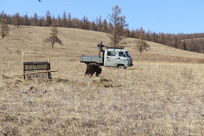The brown bear released back into the wild