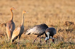 WWF launches the Year of Crane – 2020 in the Amur river basin