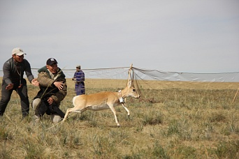 8 Mongolian gazelles were fitted with satellite collars