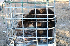 The brown bear will be released back into the wild