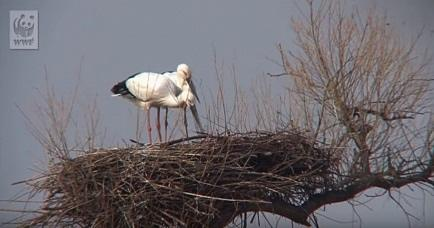 Live videofeed from real Oriental stork's nests in Russia